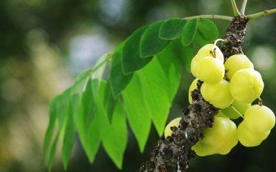 มะยม สรรพคุณ 9 อย่างรักษาร่างกาย ผล ราก ใบ มะยมใช้ได้หมด